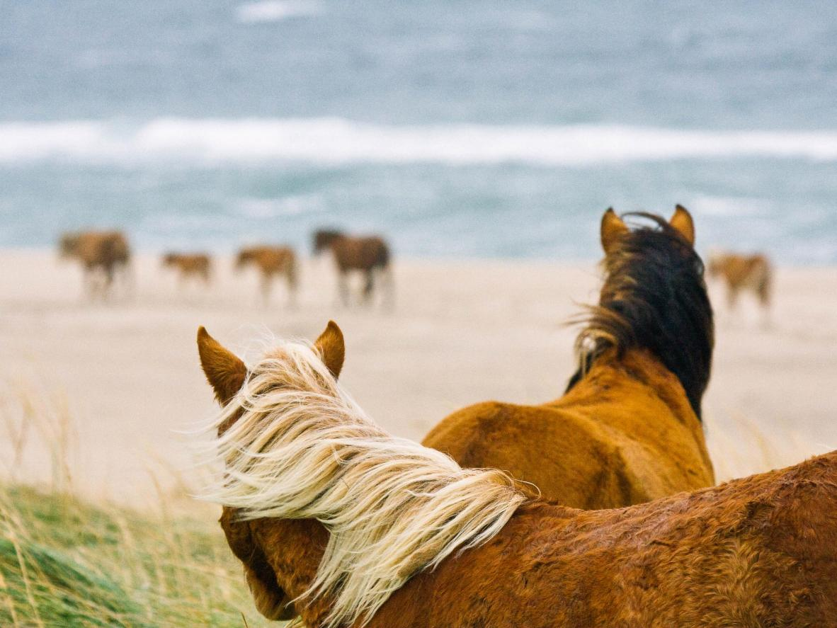Spot stallions galloping along the rugged shore of Nova Scotia's Sable Island