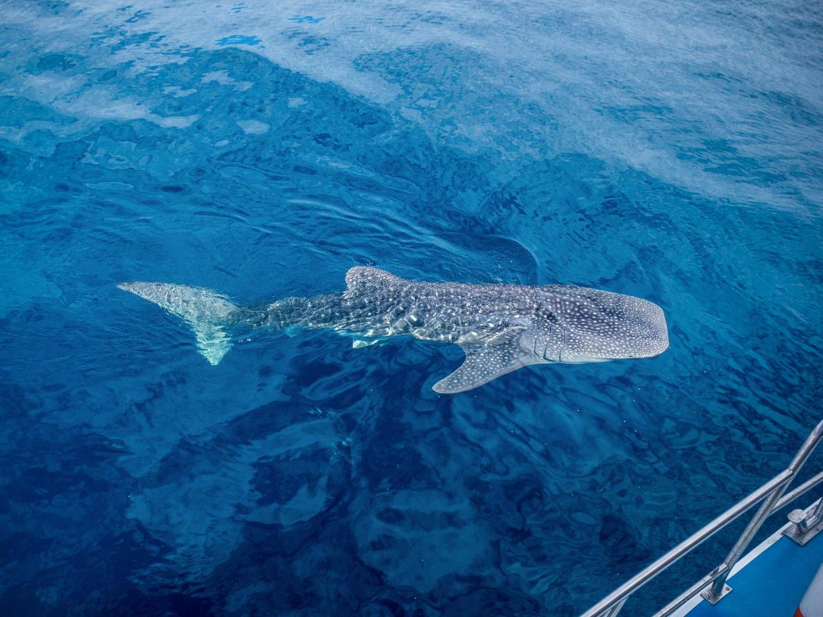 Swim with breathtakingly large whale sharks in Exmouth