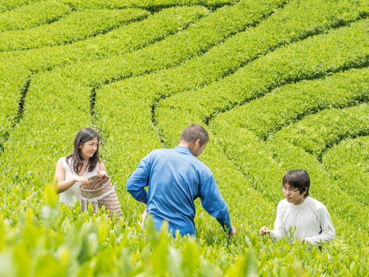 Learn how to harvest tea leaves as a family