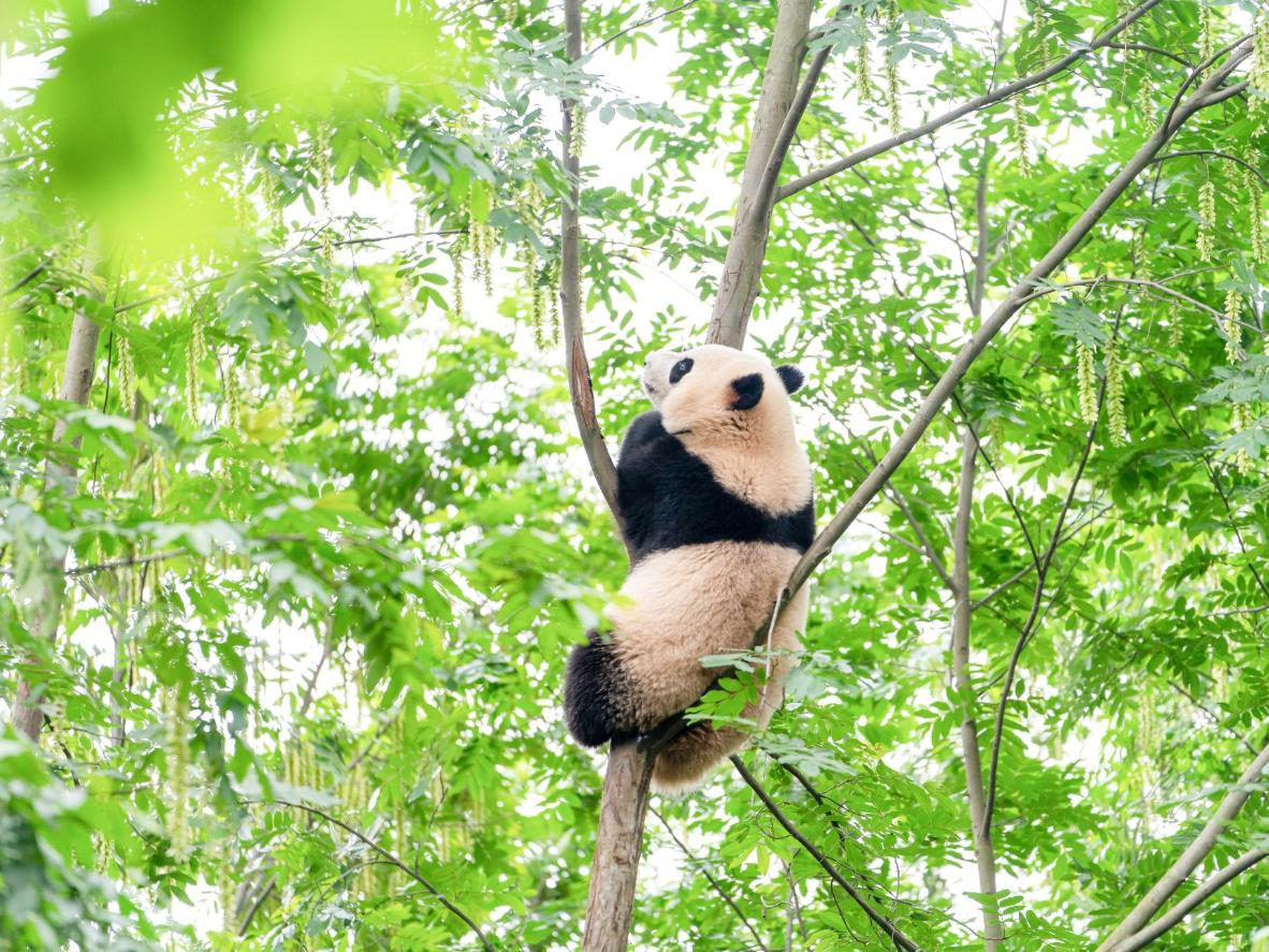 Spot Giant pandas at the Breeding Base in Chengdu