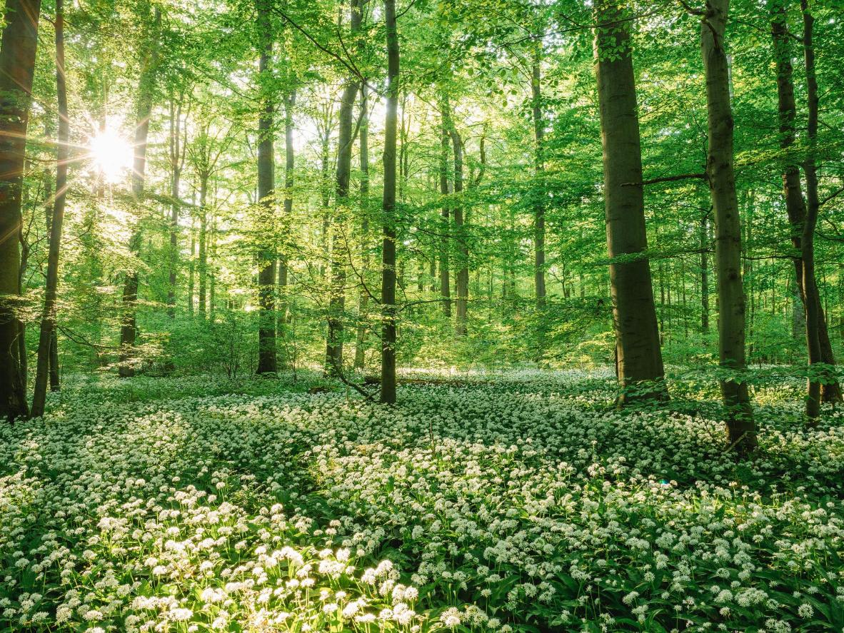 In the last beech forest in Central Europe, wild wild garlic plants cover the ground