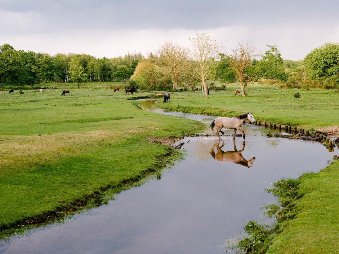 The native New Forest ponies are free to roam, graze and take a quick dip
